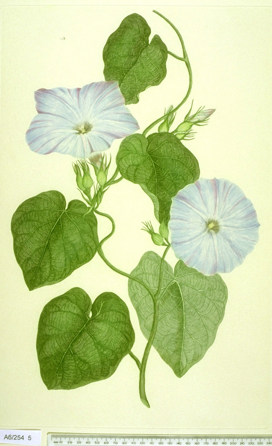 Ipomoea Indica - approx. actual size - this image digitally watermarked and copyright NHM