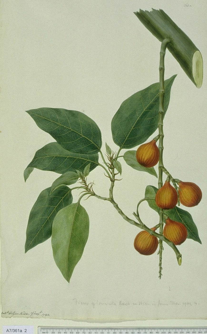 Ficus Racemosa - approx. actual size - this image digitally watermarked and copyright NHM