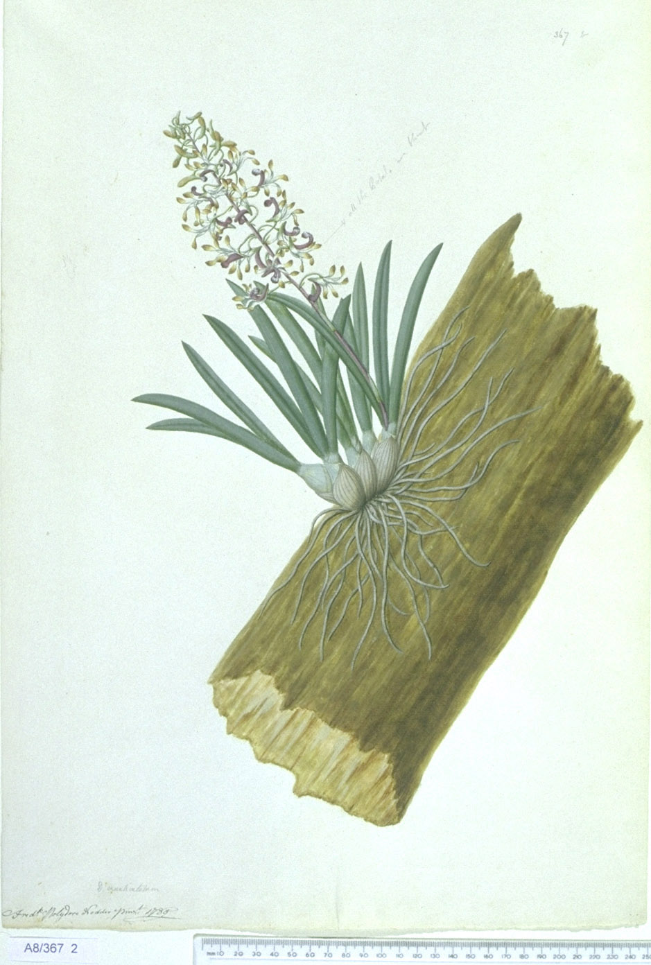 Dendrobium Canaliculatum - approx. actual size - this image digitally watermarked and copyright NHM