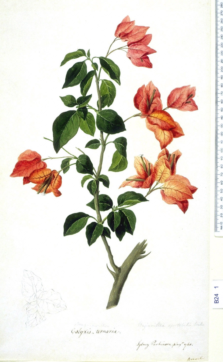 Bougainvillea Spectabilis - approx. actual size - this image digitally watermarked and copyright NHM