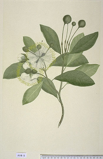 Capparis Lucida - click to show image approx. actual size - this image digitally watermarked and copyright NHM