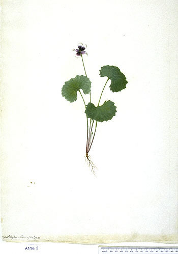 Viola Hederacea - click to show image approx. actual size - this image digitally watermarked and copyright NHM
