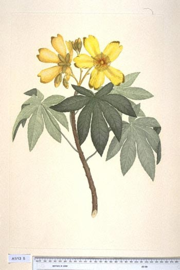 Cochlospermum Gillivraei - click to show image approx. actual size - this image digitally watermarked and copyright NHM
