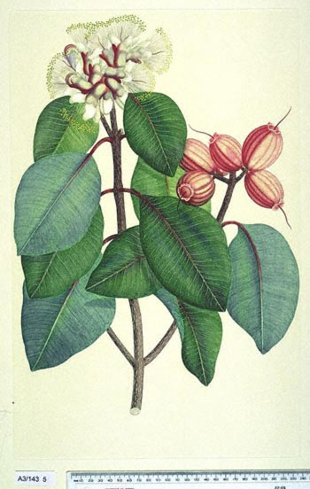 Syzygium Suborbiculare - click to show image approx. actual size - this image digitally watermarked and copyright NHM