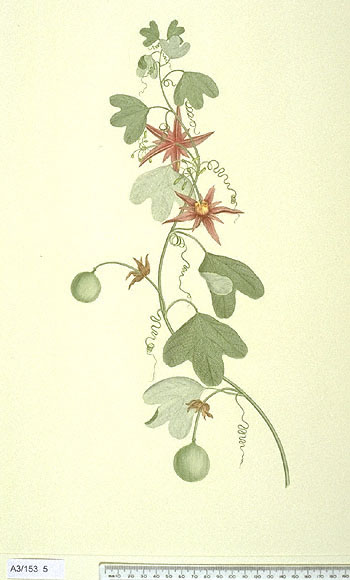 Passiflora Aurantia - click to show image approx. actual size - this image digitally watermarked and copyright NHM