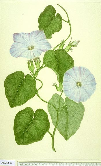 Ipomoea Indica - click to show image approx. actual size - this image digitally watermarked and copyright NHM