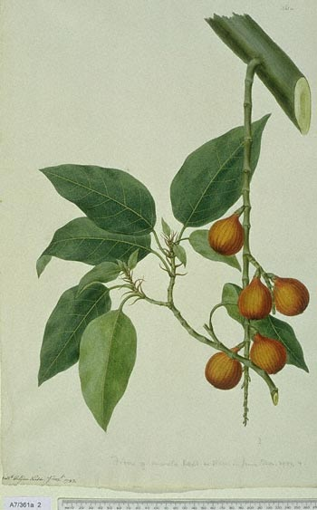 Ficus Racemosa - click to show image approx. actual size - this image digitally watermarked and copyright NHM