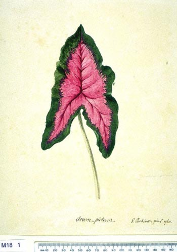 Arum Italicum - click to show image approx. actual size - this image digitally watermarked and copyright NHM