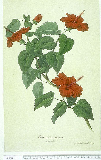 Hibiscus Rosa-sinensis - click to show image approx. actual size - this image digitally watermarked and copyright NHM
