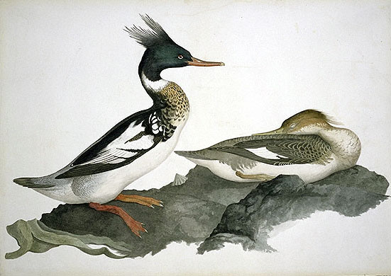 Mergus serrator, Red-breasted Merganser image