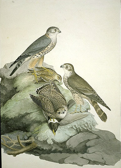 Falco columbarius, Merlin image