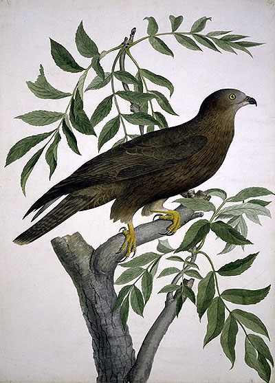 Pernis apivorus, Honey Buzzard image
