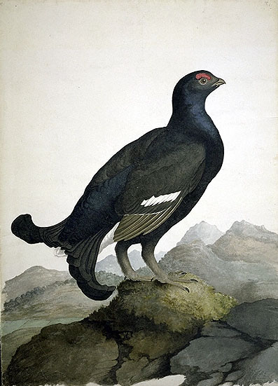 Tetrao tetrix, Black Grouse image