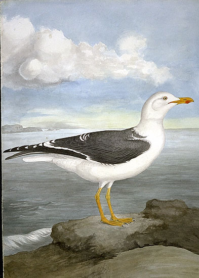 Larus fuscus, Lesser Black-backed Gull image