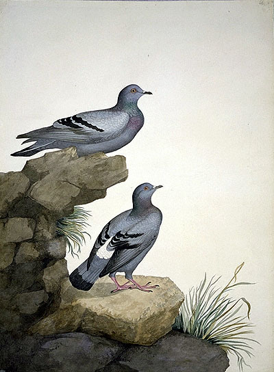 Columba livia, Rock Dove image