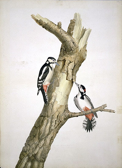 Dendrocopos major, Great Spotted Woodpecker image