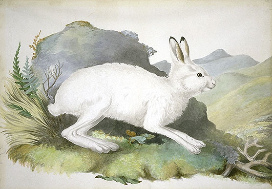 Lepus timidus, Mountain Hare image
