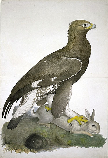 Aquila chrysaetos, Golden Eagle image