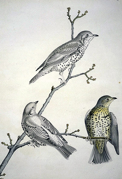 Turdus philomelos, Song Thrush image