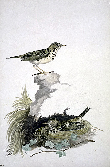 Anthus pratensis, Meadow Pipit image