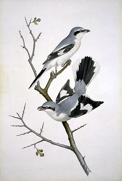 Lanius excubitor, Great Grey Shrike image