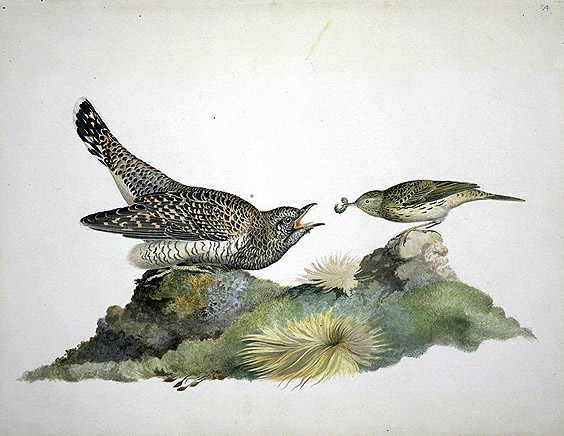 Cuculus canorus and Anthus pratensis, Common Cuckoo and Meadow Pipit image