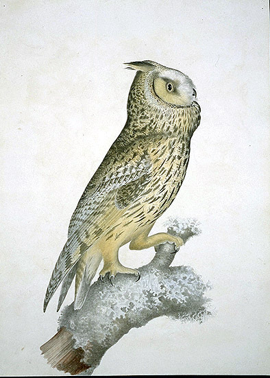 Asio otus, Long-eared Owl image