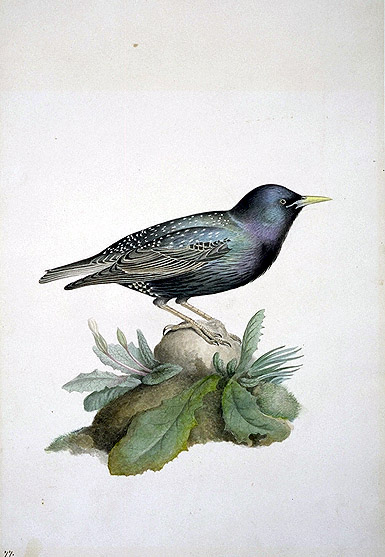 Sturnus vulgaris, Common Starling image