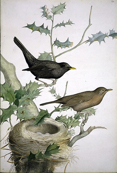 Turdus merula, Common Blackbird image