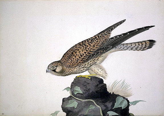 Falco tinnunculus, Common Kestrel image