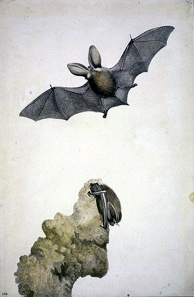 Plecotus auritus, Brown long-eared bat image