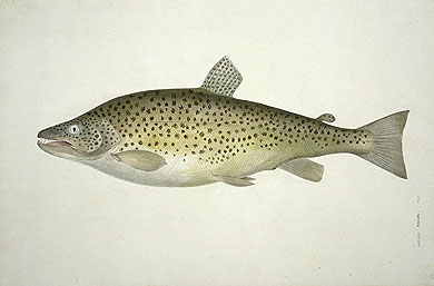 Salmo trutta, Brown trout image