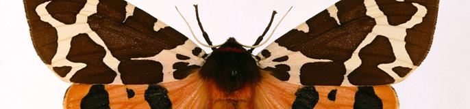Arctia caja, garden tiger moth.
