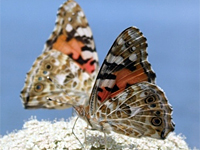Painted Ladies (Vanessa cardui). Orbetello Lagoon (Italy). © Alessandro Giusti.