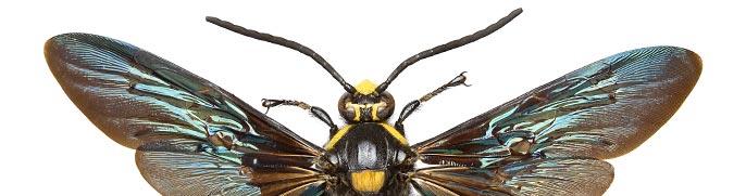 Megascolia procer, wasp.