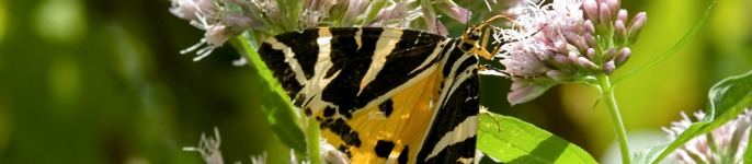 Photograph of the brightly coloured and patterned Jersey tiger moth, Euplagia quadripunctaria, found in the museum Wildlife Garden.