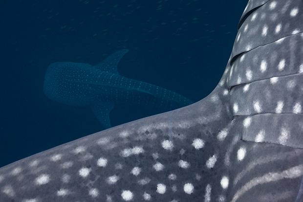 http://www.nhm.ac.uk/resources/natureplus/wpy-blog/wpy52/shark1.jpg