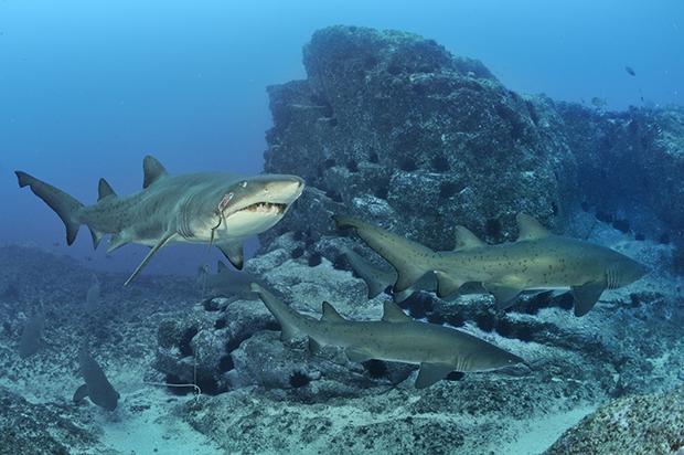 http://www.nhm.ac.uk/resources/natureplus/wpy-blog/wpy52/shark2.jpg