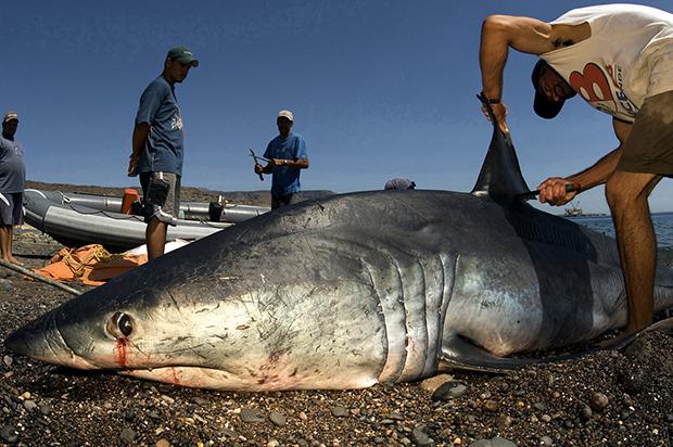 http://www.nhm.ac.uk/resources/natureplus/wpy-blog/wpy52/shark6.jpg