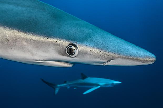 http://www.nhm.ac.uk/resources/natureplus/wpy-blog/wpy52/shark7.jpg