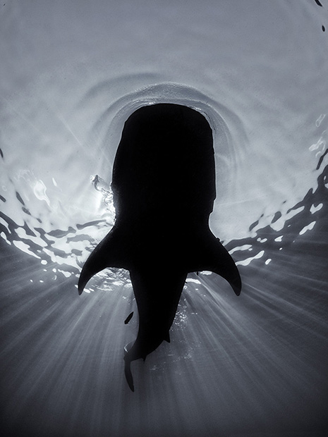 http://www.nhm.ac.uk/resources/natureplus/wpy-blog/wpy52/shark9.jpg