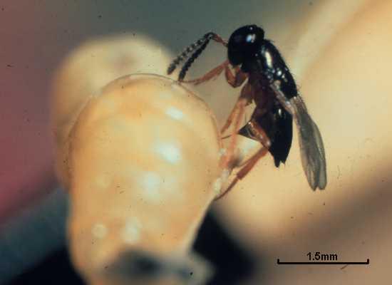 Tachinaephagus zealandicus