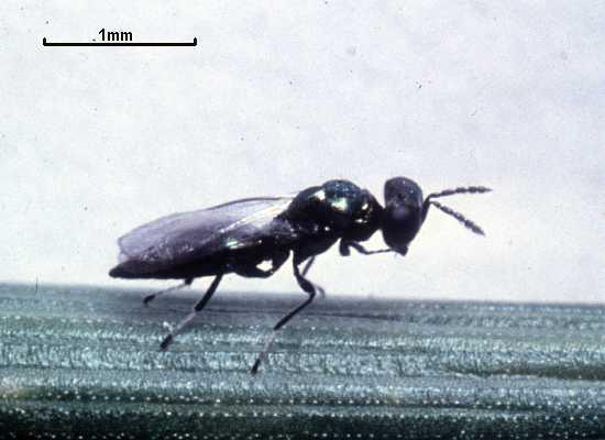 Pediobius eubius