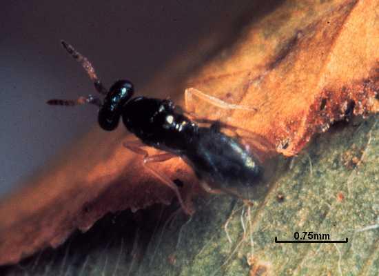 Baryscapus megachilidis
