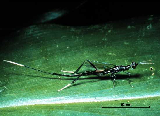 Leptofoenus stephanoides