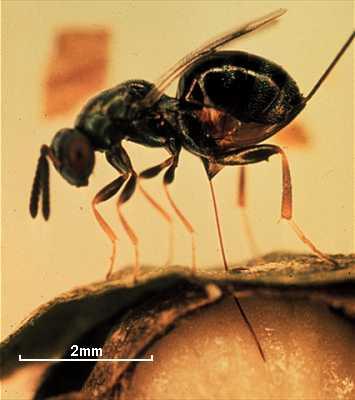 Monodontomerus aeneus