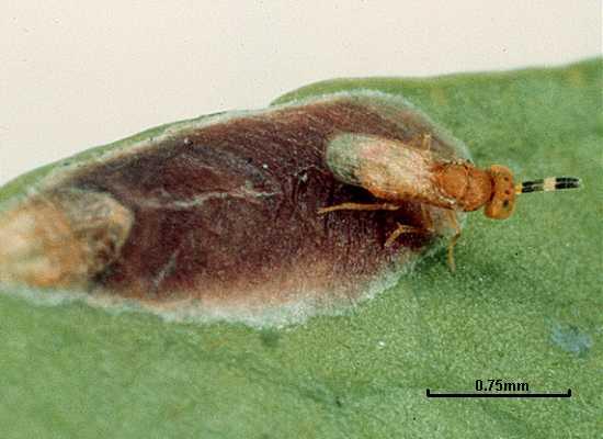 Coccobius fulvus