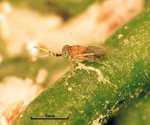 Anagyrus dactylopii