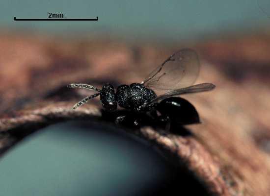 Eurytoma brunniventris