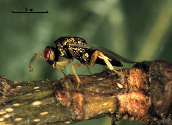 Mesopolobus amaenus